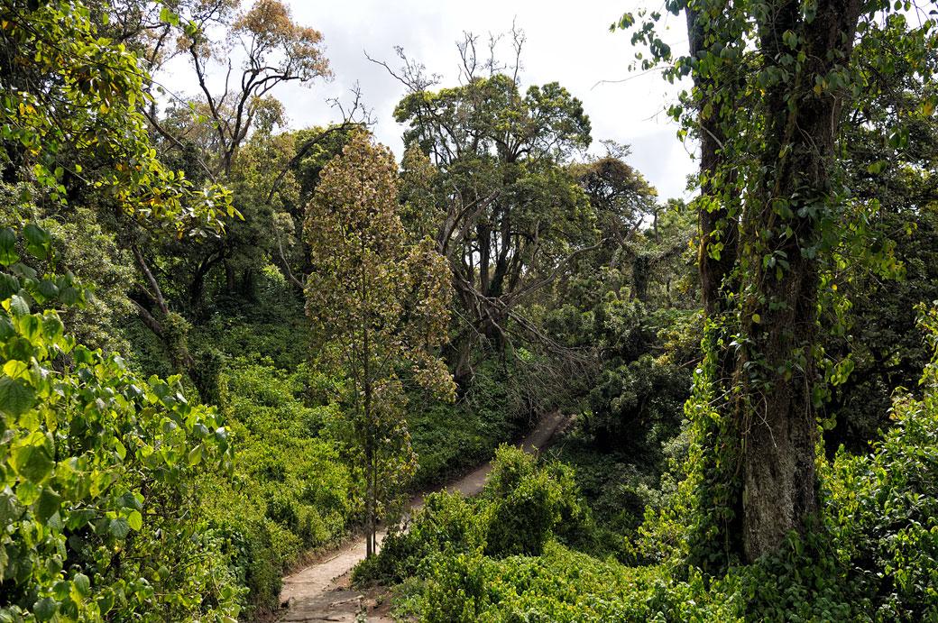Forêt tropicale et sentier sur le Kilimandjaro, Tanzanie