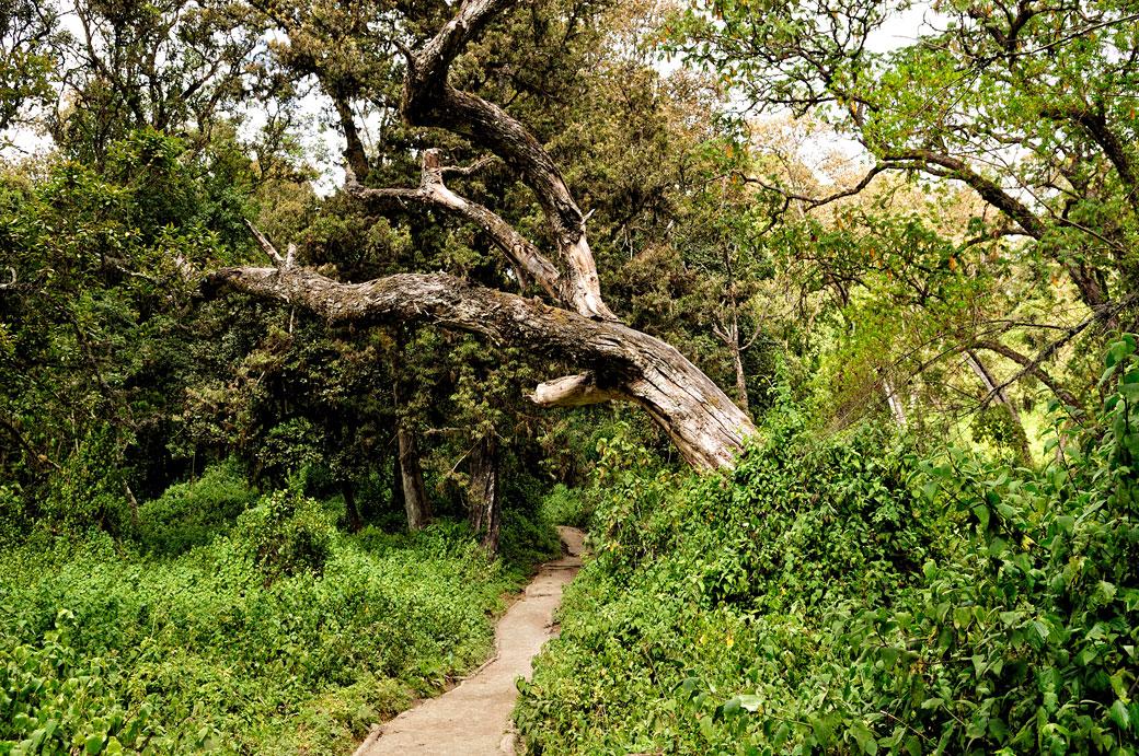 Sentier de la voie Lemosho dans la forêt tropicale, Tanzanie