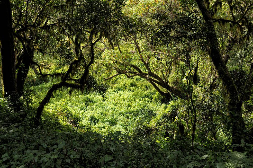 Forêt tropical dense au Kilimandjaro, Tanzanie