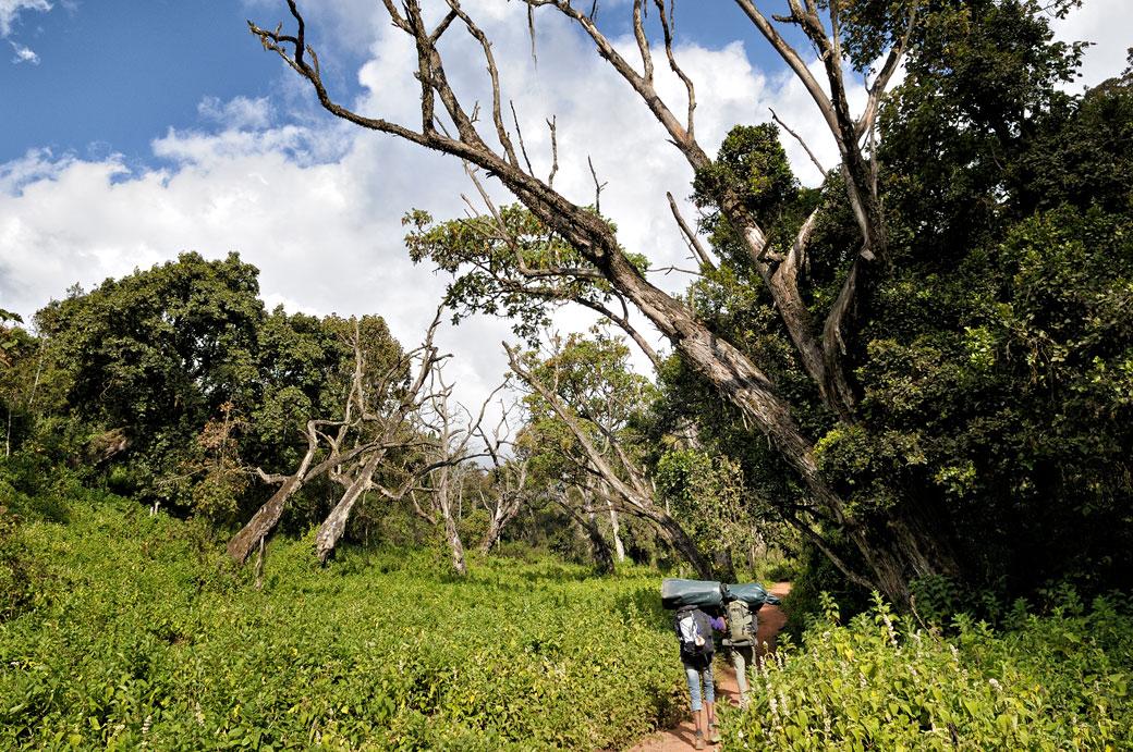 Porteurs sur la voie Lemosho dans la forêt du Kilimandjaro, Tanzanie