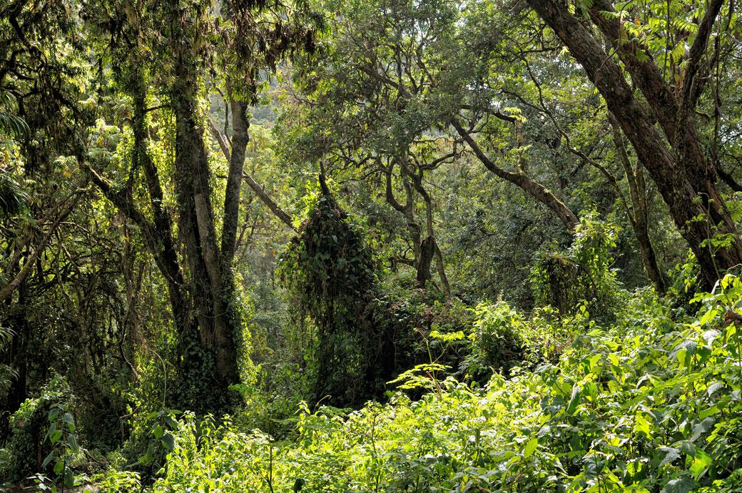 Forêt tropicale humide près de Forest camp sur le Kilimandjaro