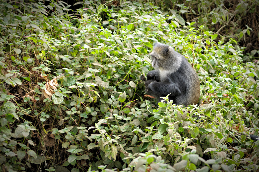 Singe bleu à Forest camp sur le Kilimandjaro, Tanzanie