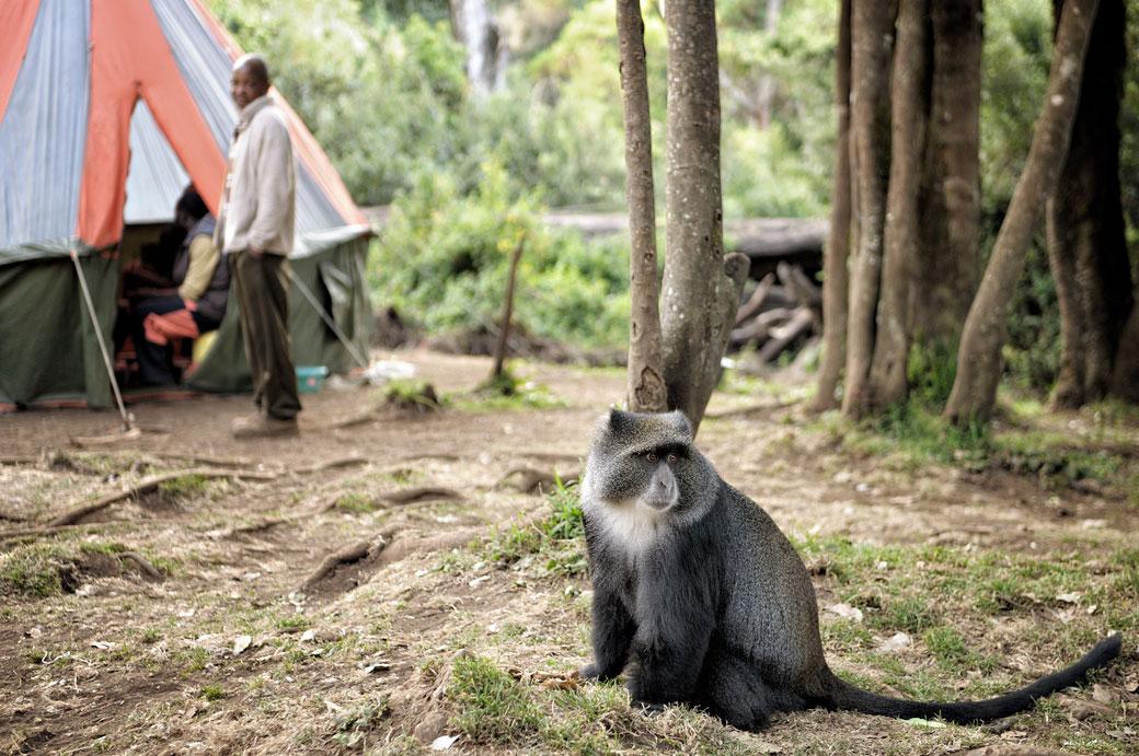 Singe bleu du Kilimandjaro à Forest camp, Tanzanie