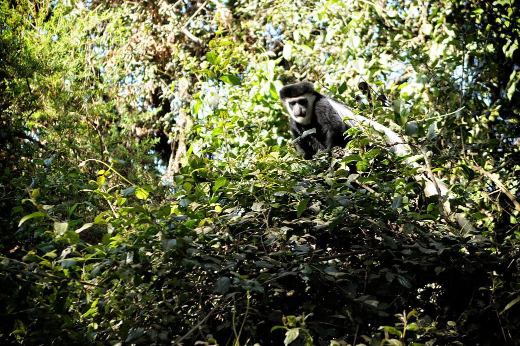 Colobe guéréza dans un arbre à Forest Camp, Tanzanie