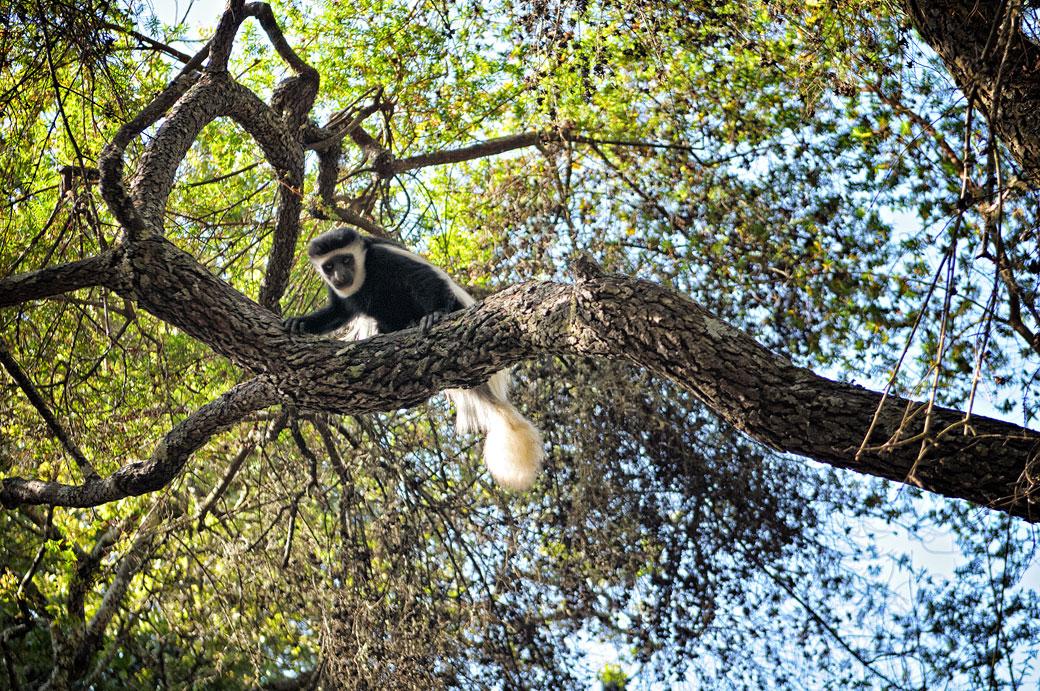 Colobe guéréza dans un arbre à Mti Mkubwa, Tanzanie