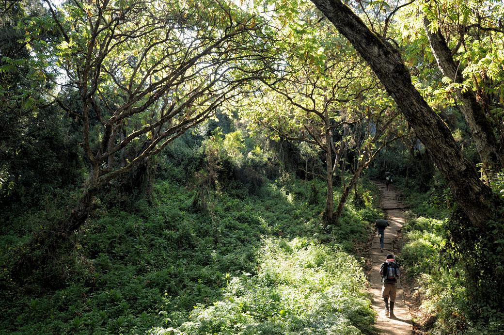 Sentier dans la forêt de la voie Lemosho sur le Kilimandjaro