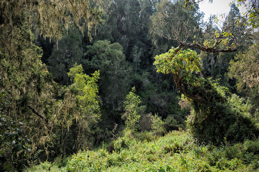 Forêt tropicale le long de la voie Lemosho du Kilimandjaro, Tanzanie