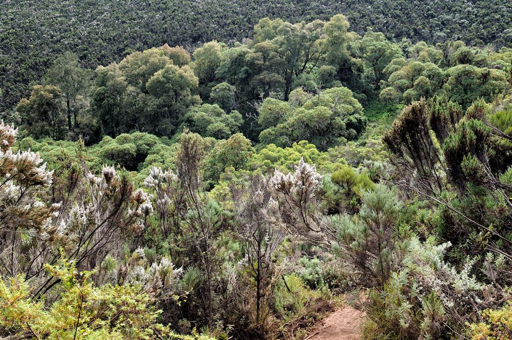 Lande de bruyères sur le Kilimandjaro, Tanzanie