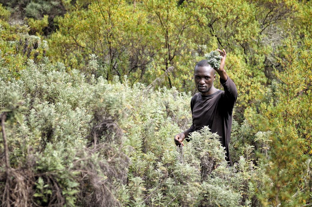 Porteur qui ramasse des plantes médicinales sur le Kilimandjaro, Tanzanie