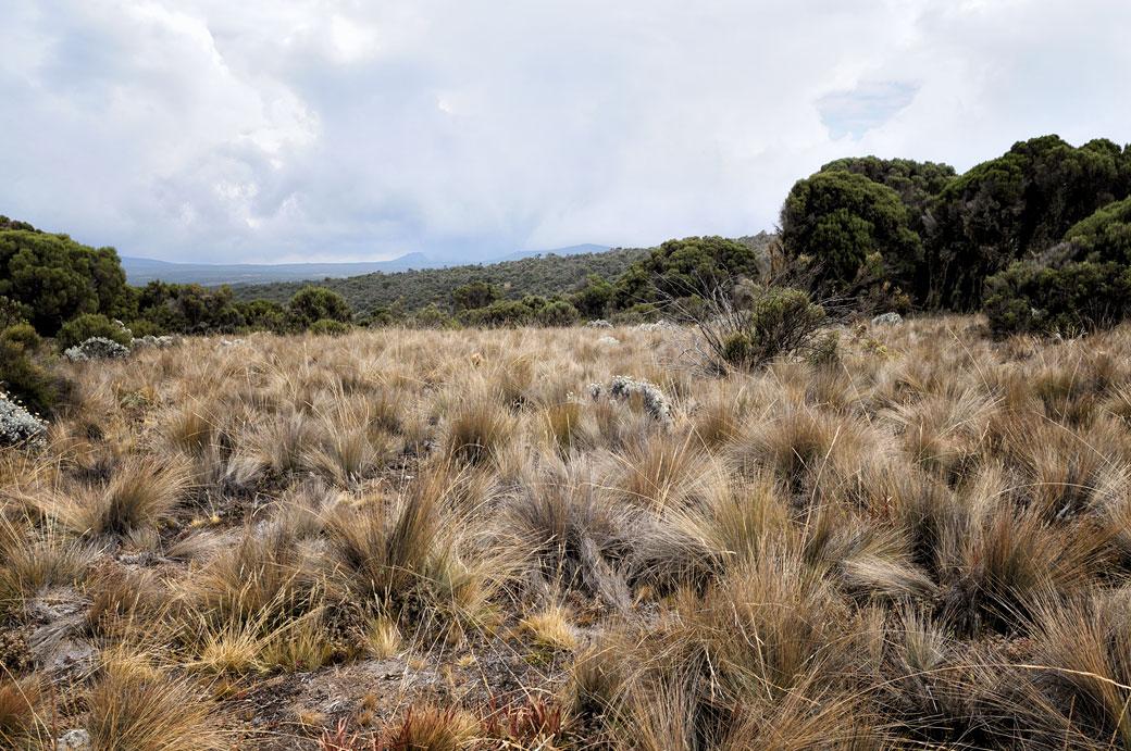 Végétation sur le plateau de Shira sur le Kilimandjaro, Tanzanie