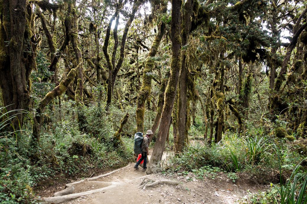 Descente du Kilimandjaro dans la forêt par la voie Mweka, Tanzanie