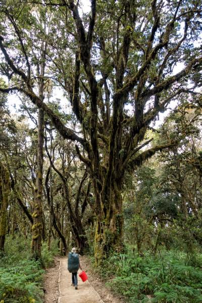 Forêt tropicale lors de la descente du Kilimandjaro, Tanzanie