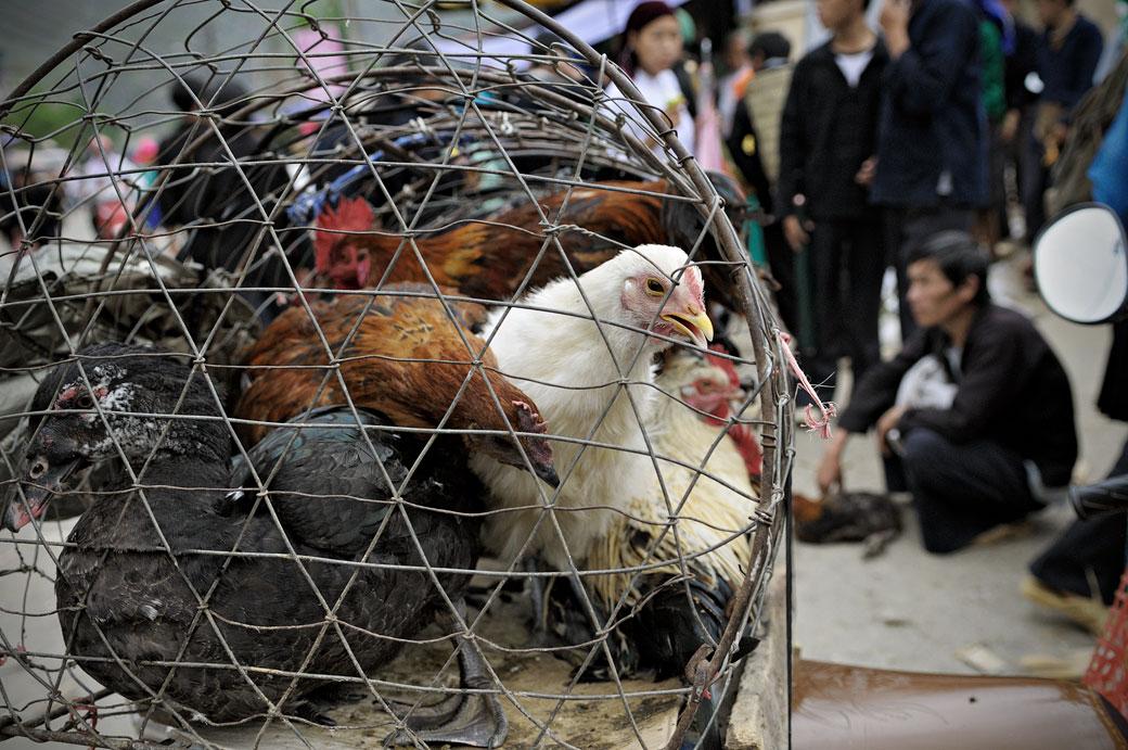 Poules en cage au marché de Meo Vac, Vietnam
