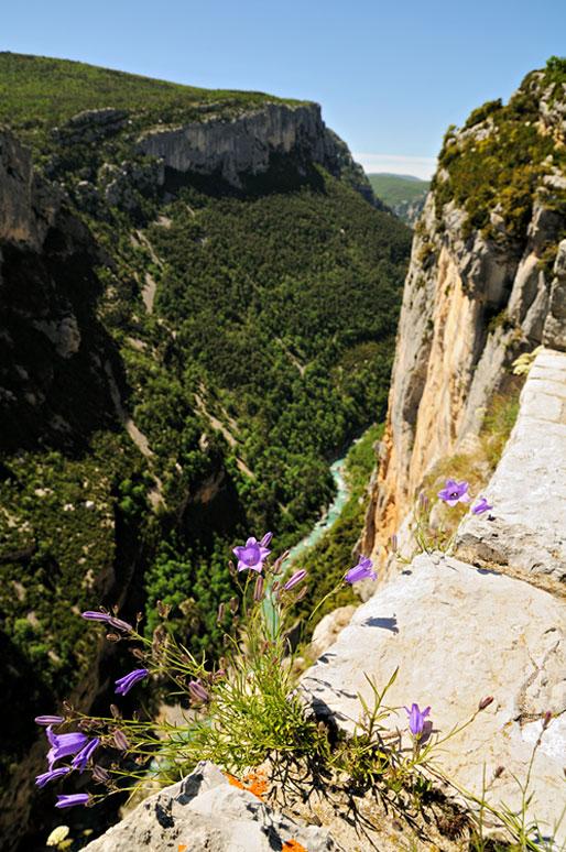 Campanules dans les Gorges du Verdon, France