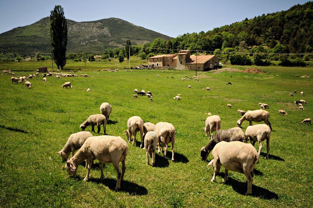 Moutons et ferme Provençale près de la Palud-sur-Verdon, France