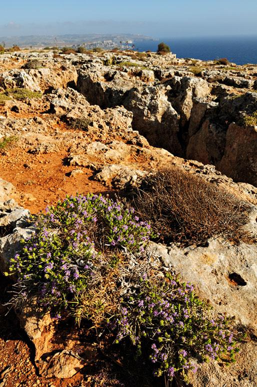 Fleurs sur la Péninsule de Marfa au nord de Malte
