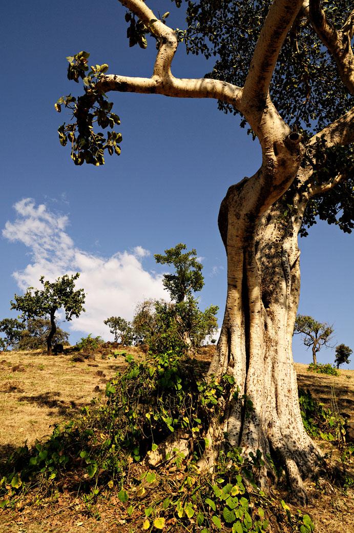 Arbres dans la région des chutes du Nil bleu, Ethiopie