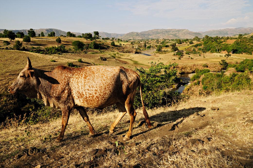 Vache tachetée dans la campagne, Ethiopie