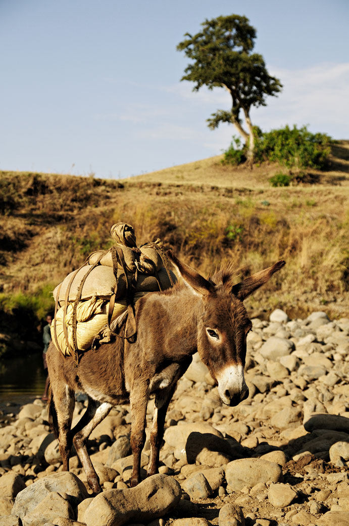 Un âne et son chargement dans la campagne, Ethiopie