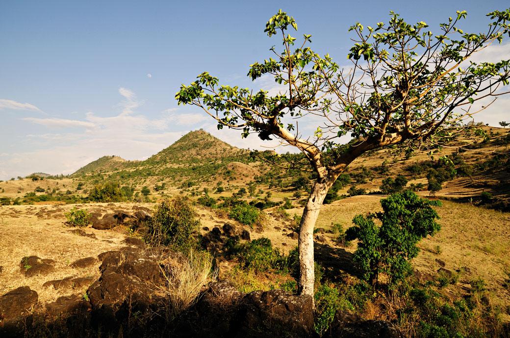 Arbre dans la campagne de la région de Tis Abay, Ethiopie