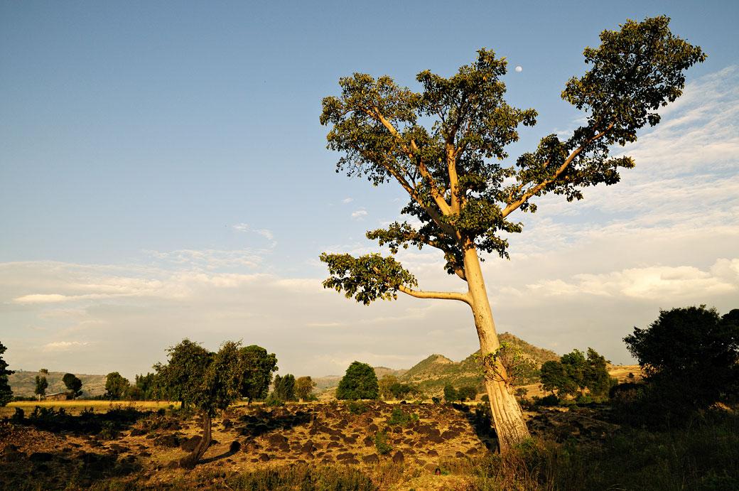 Arbre dans la campagne de Tis Abay, Ethiopie