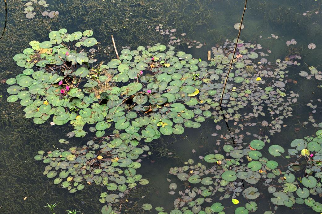 Nénuphars sur le lac de Ba Be, Vietnam