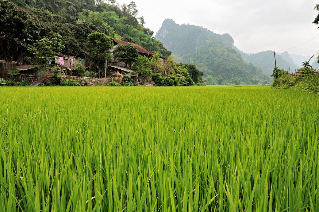Rizière dans le parc national de Ba Be, Vietnam
