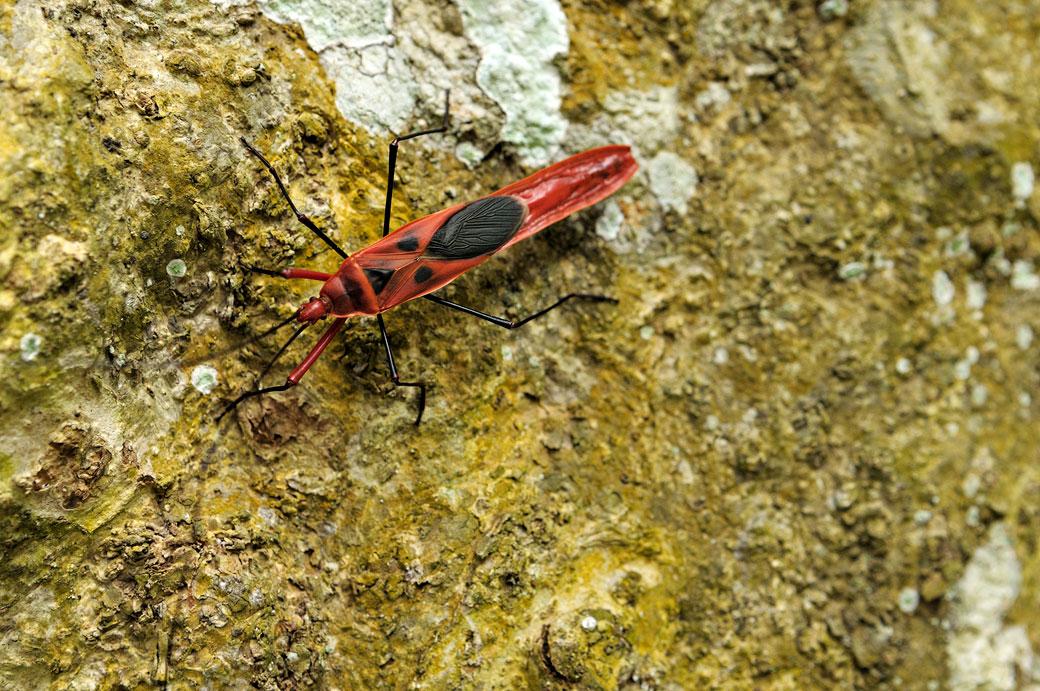 Insecte rouge et noir sur un tronc d'arbre, Vietnam