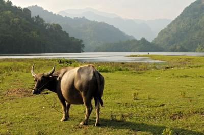 Buffle au bord du lac de Ba Be, Vietnam