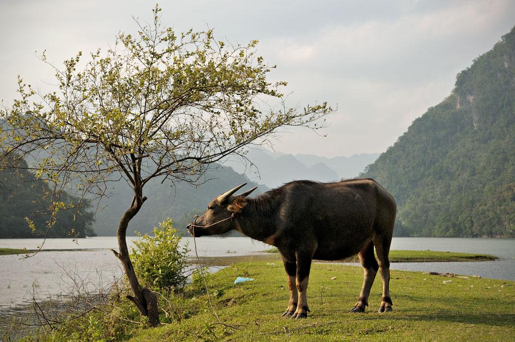 Buffle sur les berges du lac de Ba Be, Vietnam