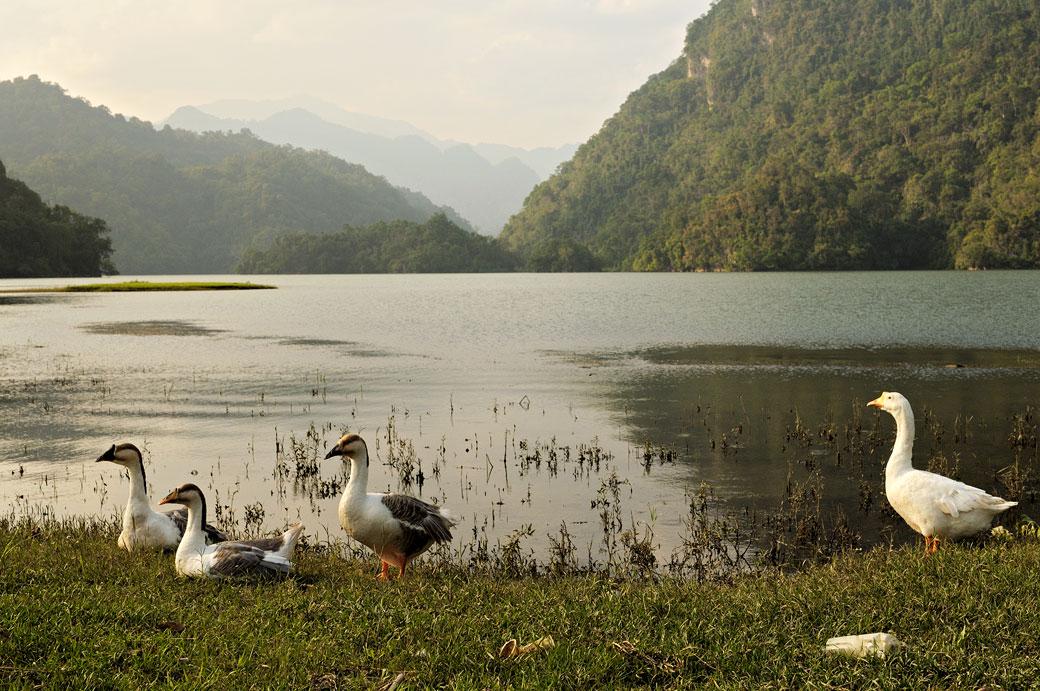 Oies au bord du lac de Ba Be, Vietnam