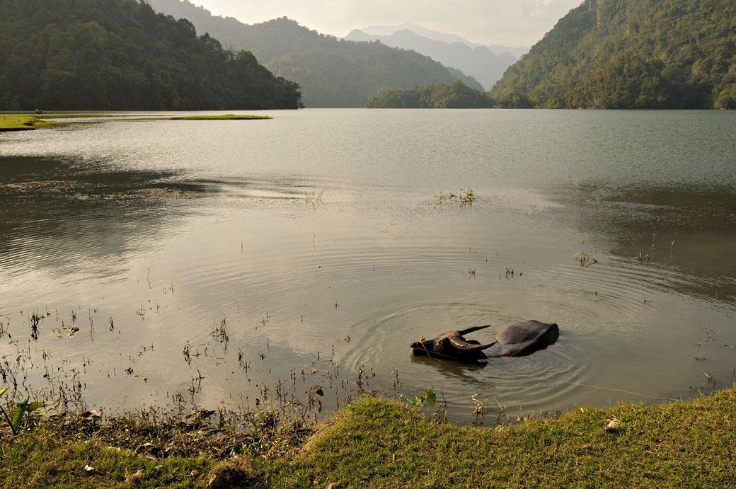 Buffle dans le lac de Ba Be, Vietnam