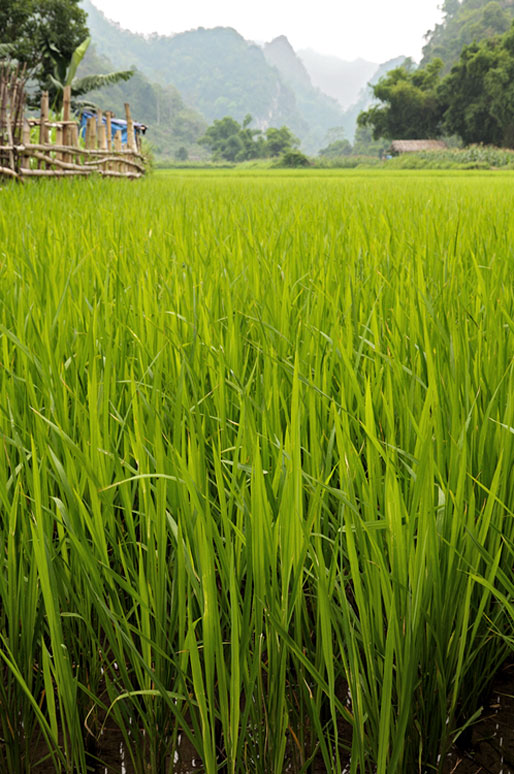 Rizière au cœur du parc national de Ba Be, Vietnam
