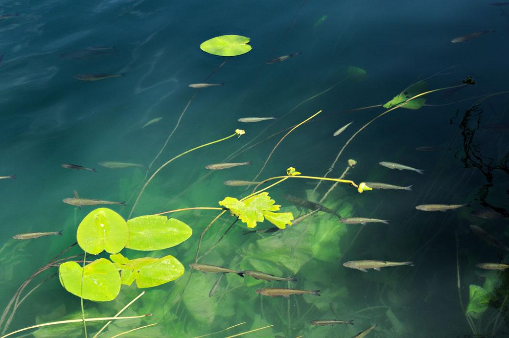 Nombreux poissons dans la rivière Krka, Croatie