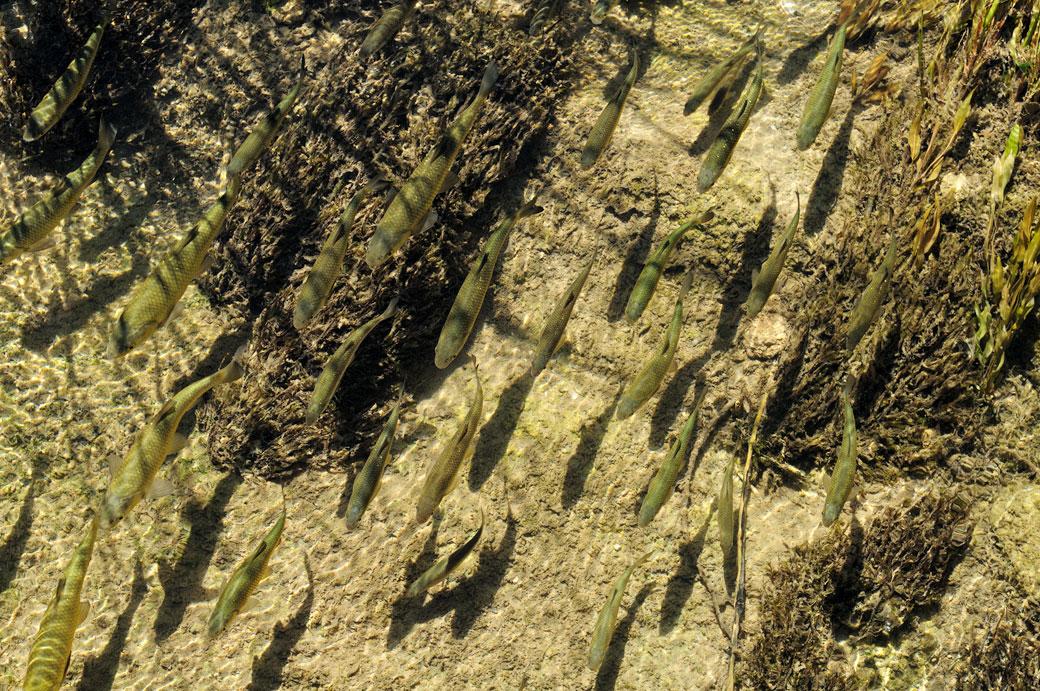 Alignement de poissons dans la rivière Krka, Croatie