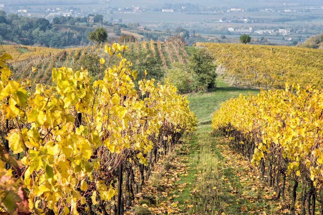 Vignoble de l'Oltrepò pavese près de Retorbido, Italie