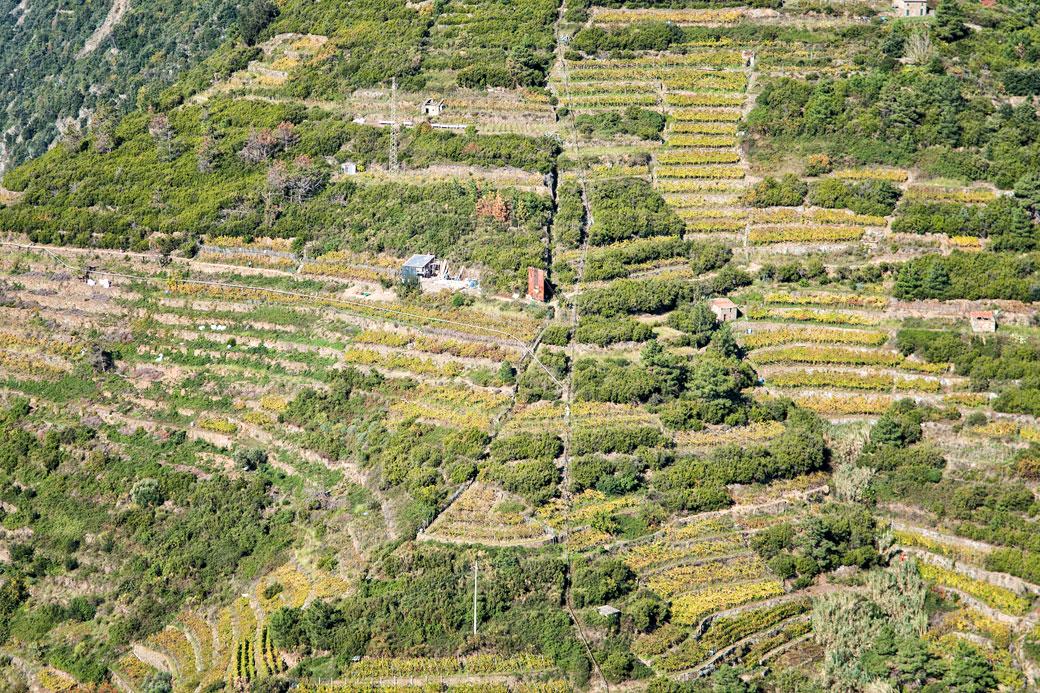 Culture en terrasses dans le parc national des Cinque Terre, Italie