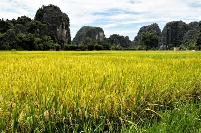 Riz et montagnes karstiques à Tam Coc, Vietnam