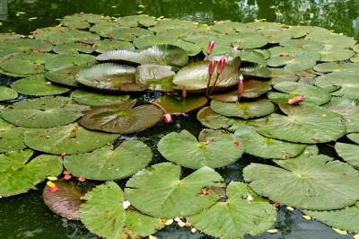Nénuphars dans un bassin au temple de Thai Vi, Vietnam