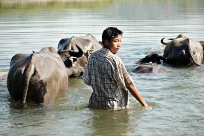 Garçon et buffles dans la rivière Lemyo, Birmanie