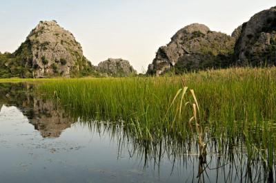 Roseaux dans la réserve naturelle de Van Long, Vietnam