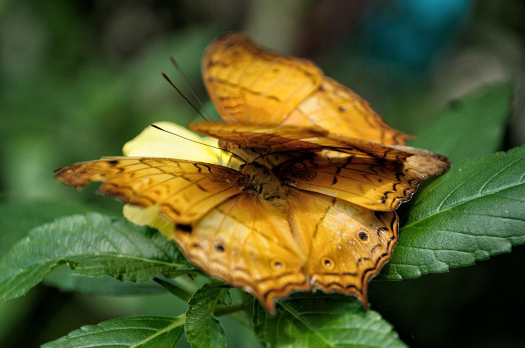 Couple de papillons au Butterfly Park de Kuala Lumpur