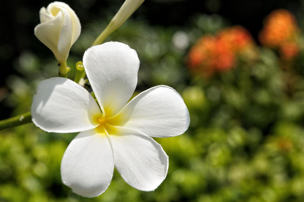 Fleur blanche de frangipanier à Kuala Lumpur
