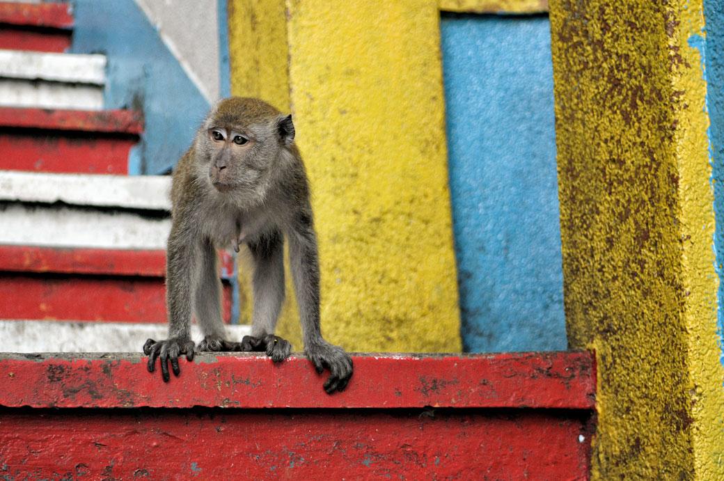 Femelle macaque crabier aux grottes de Batu