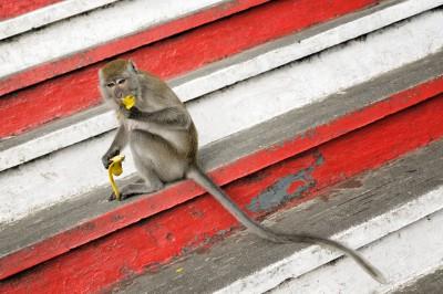 Macaque à longue queue qui mange une banane, Malaisie