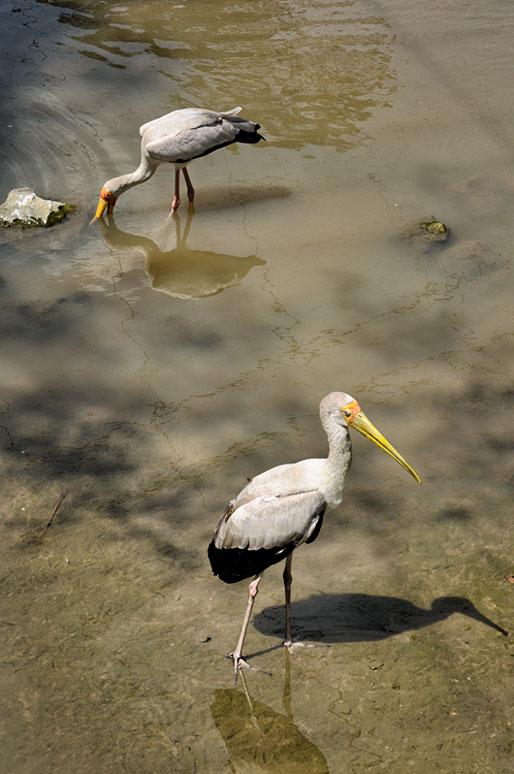 Tantales blancs au Kuala Lumpur Bird Park, Malaisie