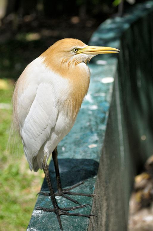 Héron au Kuala Lumpur Bird Park, Malaisie