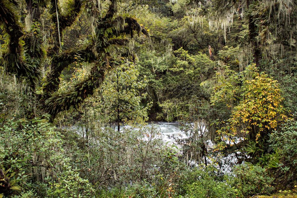 Forêt dense humide et rivière Paro Chhu, Bhoutan