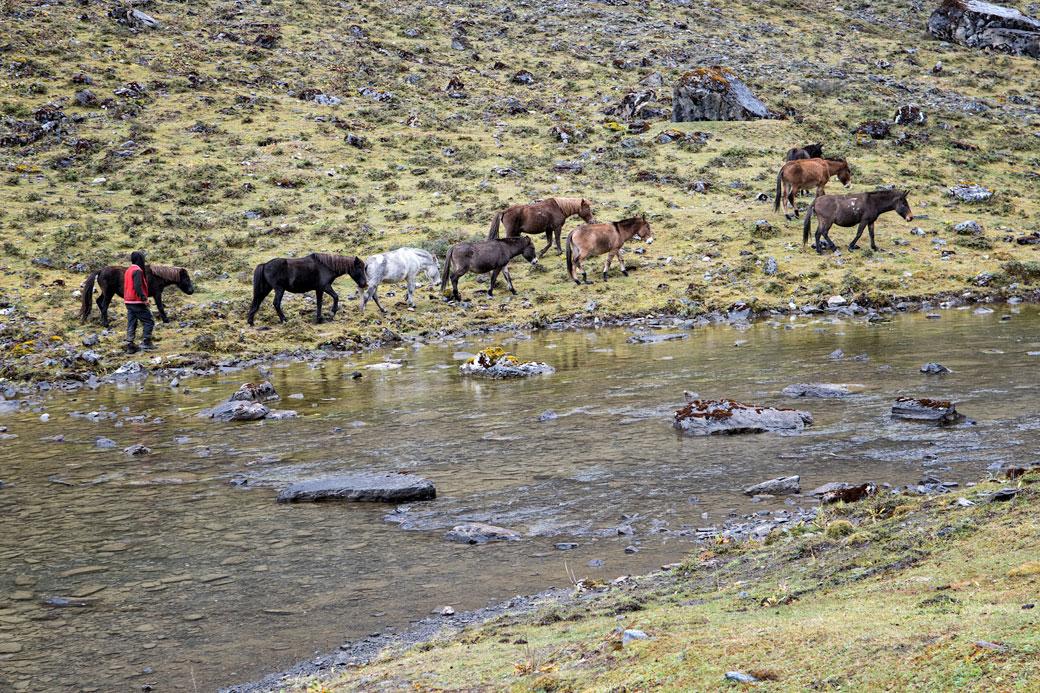 Chevaux au bord de Tshophu Lake, Bhoutan