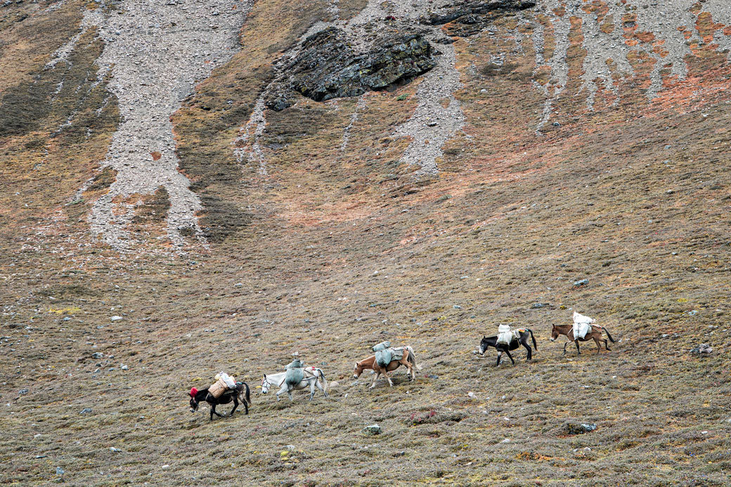 Chevaux à flanc de montagne lors de la descente du col de Nyile La